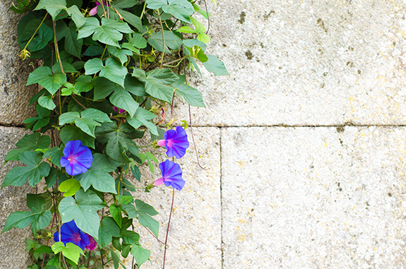 goodlifehomes - Climber Plants for Your New Backyard